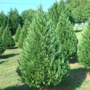 Perfect Tree - Silveyville Farm