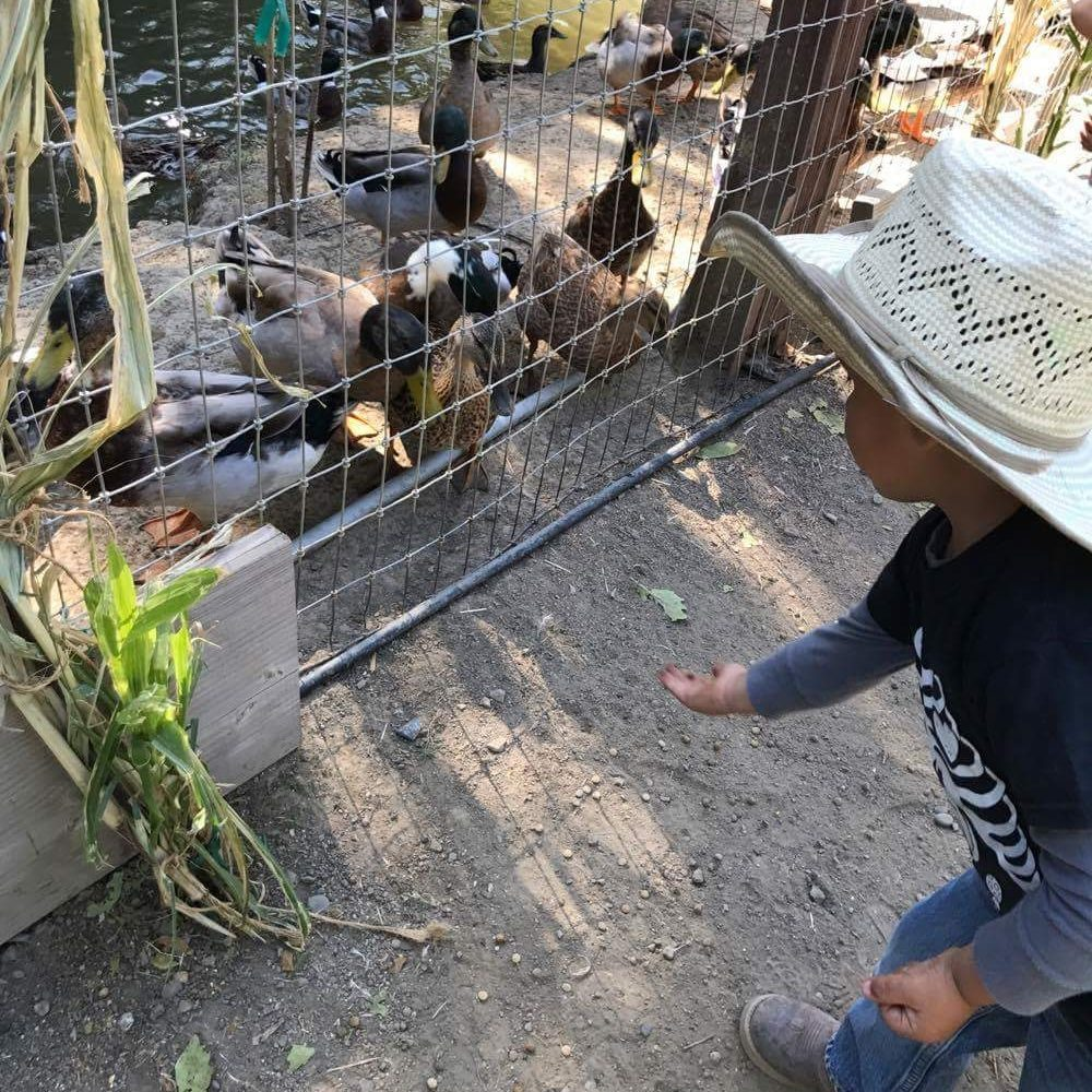 Little boy feeding ducks